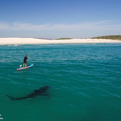 Great White Sharks - Mindless Killers or Accommodating Predators?