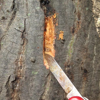 Beetle ravages indigenous trees