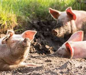 SA commercial pig herd now among 'healthiest in the world'
