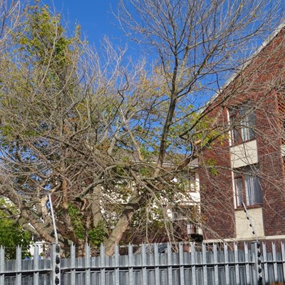 Steer clear of dying trees in George area