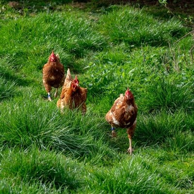 Poultry litter to biogas: adding more value to farm waste