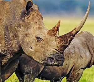 Rhino Horn Trade Africa website launched