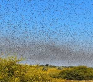 Namibian farmers battle clouds of locusts