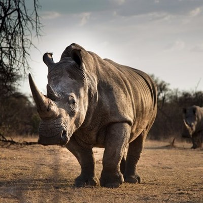 Rhino poaching declines significantly