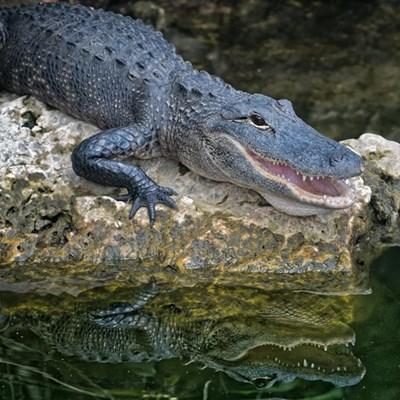 Muthi trade fuels crocodile thefts, says Crocodile Creek owner
