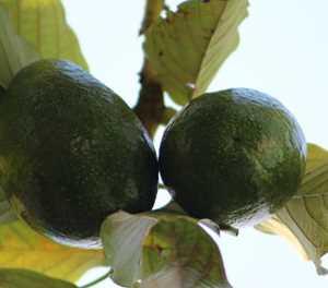 Beware of these avocado diseases