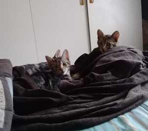 Kittens lost in Riversdale