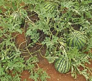 Watermelon planting tips