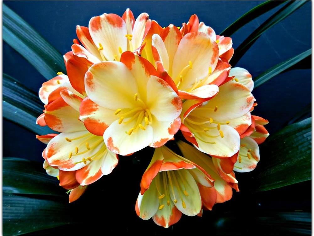 Kweek kleurvolle clivias