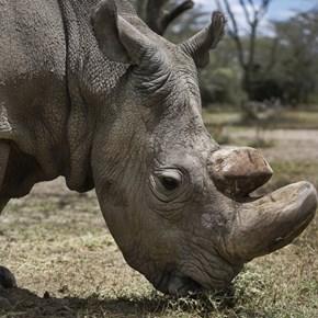 Last male northern white rhino dies