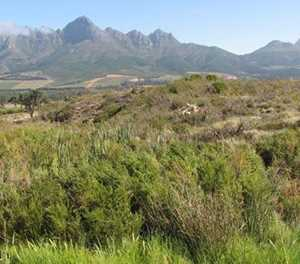 Vergelegen rehabilitates 2 000ha of fynbos