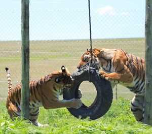 Rescued lions and tigers celebrate first anniversary of freedom