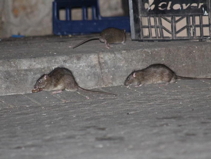 Rat or wrong?