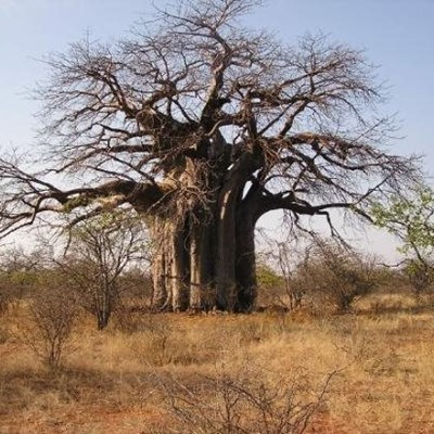 Africa's oldest baobabs dying off in southern Africa