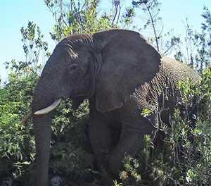 Knysna elephant: SANParks report reignites debate