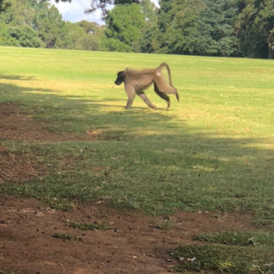 Daily news update: Baboon on the loose, 4 SA expats safe after Moz attack