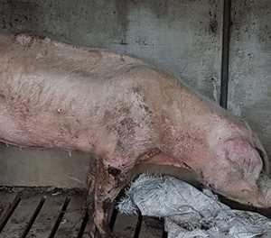 More animal neglect allegations against award-winning farmer