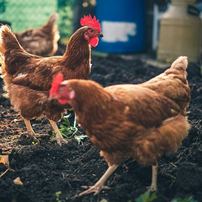 Avian Influenza outbreak confirmed on Ekurhuleni farm
