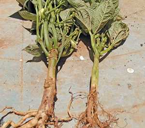 Bean pests & soil diseases