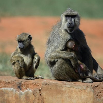 Cape's baboons could be risking diabetes while raiding through trash, study reveals