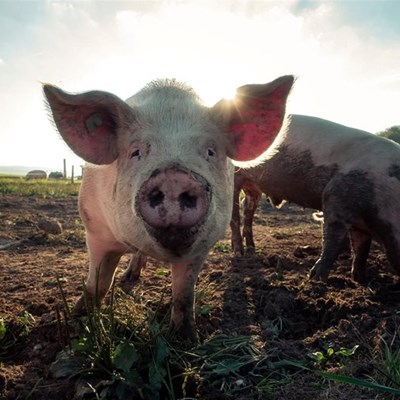 North West reports outbreak of African swine fever