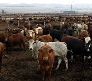 Who are the leading importers of South African beef?