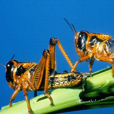 SA on high alert for further brown locust outbreaks
