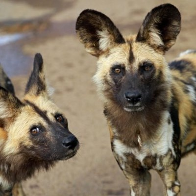 Rare African wild dogs relocated