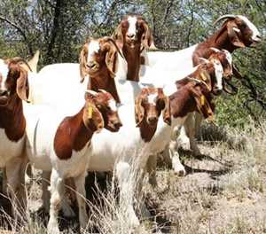 New vaccination technology for sheep and goat flocks