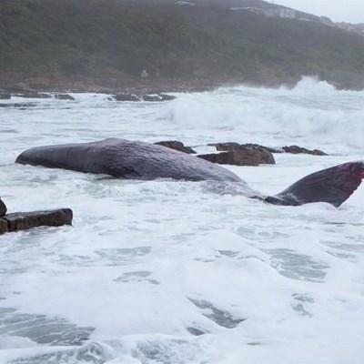 Gestrande walvis gaan nie verwyder word nie