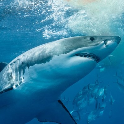 At least 8,000 great white sharks off Australia coast: researchers