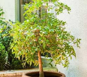 6 trees ideal for containers