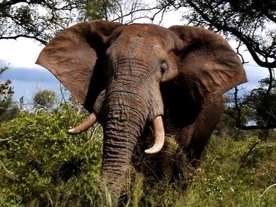 Alleged poacher trampled by elephants in Kruger Park