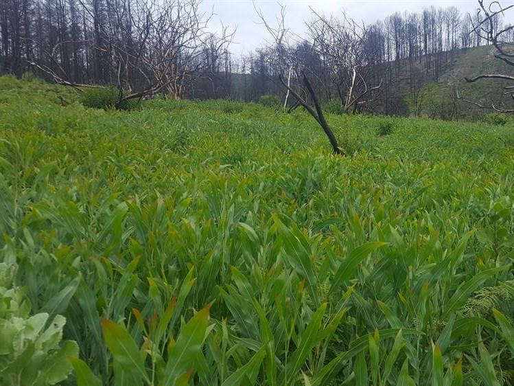 Alien vegetation covers Knysna burn areas