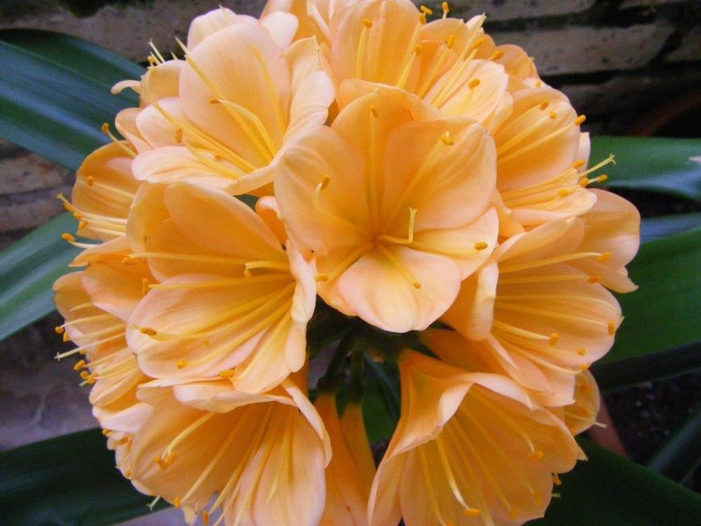 Clivia Show this weekend