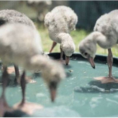 Rescue of flamingo chicks welcomed