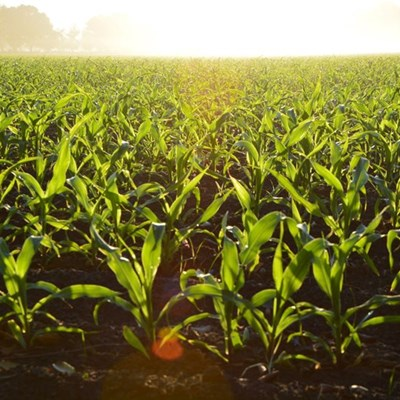 Stolen maize costs Free State farmers millions