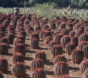 Explore the impressive cacti collection at  Obesa Nursery
