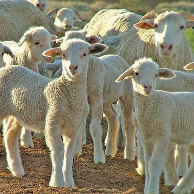 'Wool sheep from Lesotho now being slaughtered in SA'