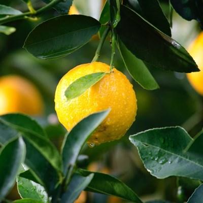 Department warns farmers of citrus disease