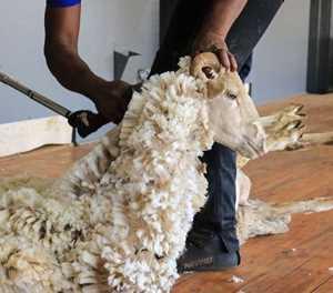Upset in SA national sheep shearing championship