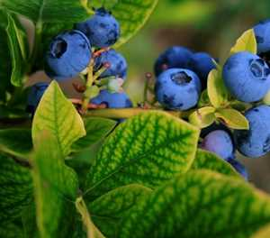 Mushy blueberries could sink the industry