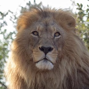 Lions maul man at north game reserve