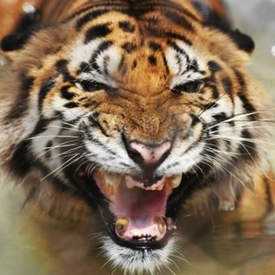 Bangladesh tiger population on the rise after intense poaching crackdown