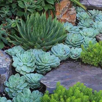 Become water-wise - garden with succulents