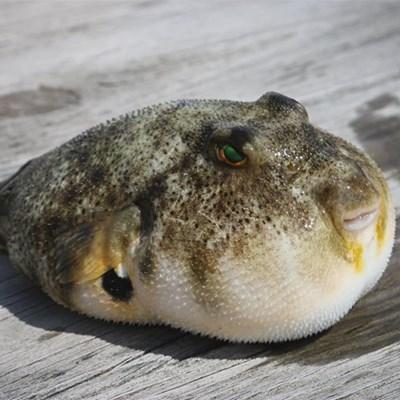 Alert: Pufferfish on beaches