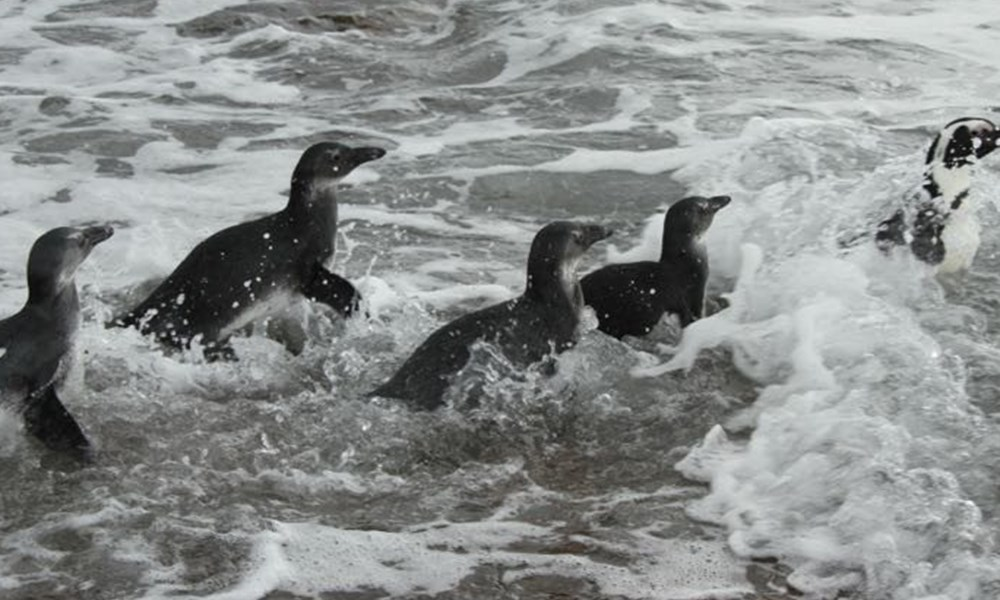 Rehabilitated penguins released