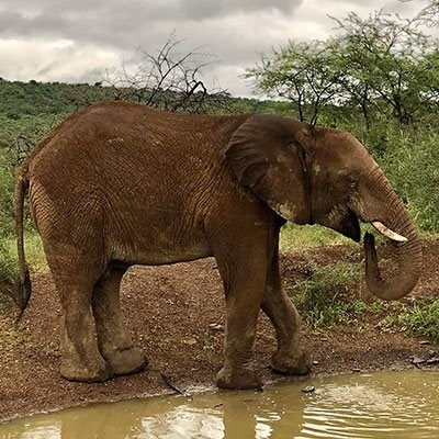 Mycotoxins in water may have caused Botswana elephant deaths