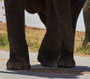 Suspected poacher killed by elephants in Kruger National Park