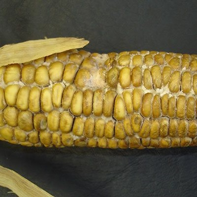 Farmers urged to scout for Diplodia maize rot